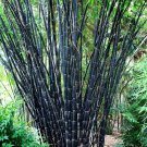 UNA SELLER 50 of Tropical Black Bamboo Seeds Privacy Clumping Shade Screen