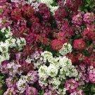 UNA SELLER 50 of Red Mix Alyssum Seeds Carpet Flower Sweet Flowers Seed Bloom