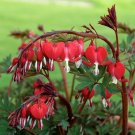 UNA SELLER 25 of Red Bleeding Heart Seeds Flowers Bloom Shade Flower Garden