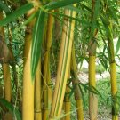 UNA SELLER 50 of China Gold Bamboo Seeds Privacy Garden Clumping Seed Shade