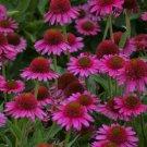 UNA SELLER 50 of Bright Pink Coneflower Seeds Echinacea Flower Perennial Bloom Flowers