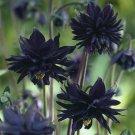 UNA SELLER 50 of Barlow Black Columbine Seeds Flower Perennial Flowers Seed