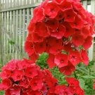 UNA SELLER 50 of Bright Red Phlox Seeds Flower Perennial Flowers Seed Butterfly