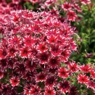 UNA SELLER 50 of Bright Red White Phlox Seeds Flower Perennial Seed Flowers