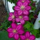 UNA SELLER 25 of Magenta Clematis Seeds Bloom Flowers Perennial Seed Flower
