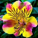 UNA SELLER 20 of Yellow Pink Alstroemeria Lily Seeds Flower Seed Perennial Flowers
