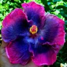 UNA SELLER 20 of Blue Pink Hibiscus Seeds Perennial Seed Flowers Flower Bloom
