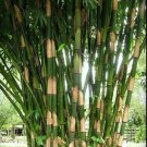 UNA SELLER 50 of Giant Atter Bamboo Seeds Privacy Garden Clumping Exotic Shade