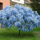 UNA SELLER 5 of Blue Chinese Wisteria Seeds Vine Climbing Flower Perennial Rare Tropical