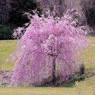 UNA SELLER 5 of Dwarf Weeping Purple Cherry Tree Seeds Flowering Japanse Ornimental