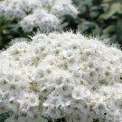 UNA SELLER 100 of White Spiraea Seeds, Steepltbrush Flower Perennial
