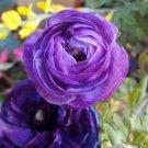 UNA SELLER 25 of Violet Persian Buttercup Seeds, Ranunculus Asiaticus Seed