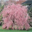 UNA SELLER 5 of Weeping Pink Cherry Tree Seeds, Flowering Japanse Ornimental