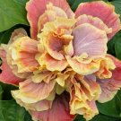 UNA SELLER 20 of Double Pink Yellow Hibiscus Seeds, Flower Seed Flowers
