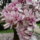UNA SELLER 5 of Light Purple White Magnolia Seeds, LILY FLOWER TREE Fragrant Seed