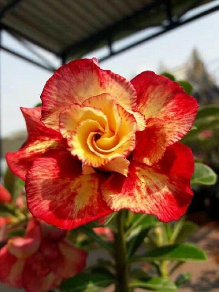 UNA SELLER 4 of Rare Red Orange Desert Rose Seeds, Adenium Obesum Flower Perennial