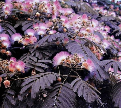 UNA SELLER 5 of Summer Chocolate Mimosa Tree Seeds, Silk Tree Albizia julibrissin Seed