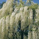 UNA SELLER 5 of Rare White Chinese Wisteria Seeds, Vine Climbing Flower Perennial