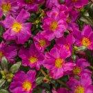 UNA 100 of Fuschia Moss Rose Seeds, Flower Perennial Seed Flowers Garden