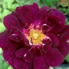UNA 100 of Maroon Moss Rose Seeds, Flower Perennial Flowers Seed