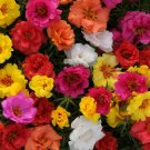 UNA 100 of Happy Hour Mix Moss Rose Seeds, Flower Perennial Flowers Seed