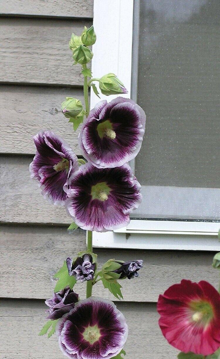 UNA 25 of Purple White Hollyhock Seeds, Perennial Giant Flower Garden Seed