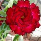 UNA 4 of Red Black Tips Desert Rose Seeds, Adenium Obesum Flowers Perennial