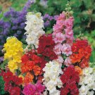 UNA 200 of Double Mix Snapdragon Seeds, Flower Perennial Flowers Seed