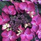 UNA 5 of Dark Angel Hydrangea Seeds, Perennial Flowers Bloom Flower Seed