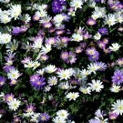 UNA 10 of Blanda Mix Anemone Bulbs, Wand Flower Fall Bulb Spring Flowers