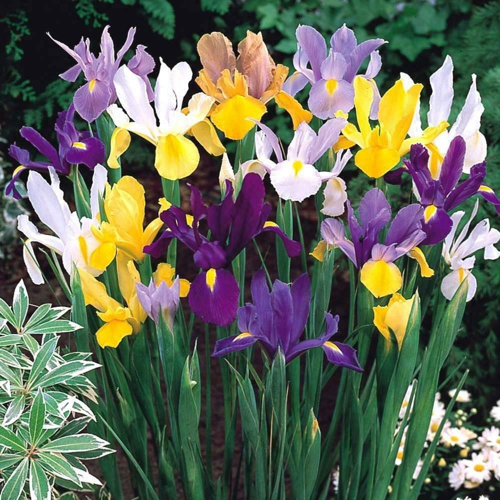 UNA 10 of Mixed Iris Bulbs Flower Bulb, Spring Fall Bloom Garden Flowers Perennial