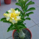 UNA 4 of Rare Yellow White Desert Rose Seeds, Adenium Perennial Flowers