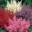 UNA 50 of White Pink Red Astilbe Seeds, Bunter Shade Perennial Garden Flower
