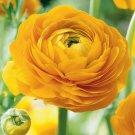UNA 25 of Dark Yellow Persian Buttercup Seeds, Ranunculus Seed Bloom Flower