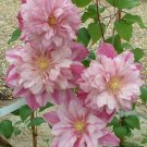 UNA 25 of Double Light Pink Clematis Seeds, Bloom Climbing Perennial Plumeria