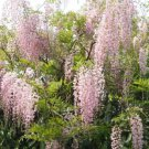 UNA 5 of Pink Ice Wisteria Seeds, Vine Climbing Flower Perennial Ornimental Garden