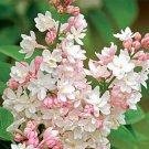 UNA 25 of Light Pink Lilac Seeds, Tree Fragrant Hardy Perennial Flower
