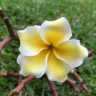 UNA 5 of Yellow White Plumeria Seeds, Flowers Flower Bloom Perennial Seed