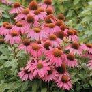 UNA 50 of Pink Coneflower Seeds, Echinacea Flower Perennial Flowers Seed