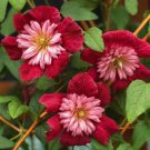 UNA 25 of Double Red Clematis Seeds, Large Bloom Climbing Perennial Garden Flower