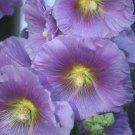 UNA 25 of Purple Yellow Hollyhock Seeds, Perennial Giant Flower Garden Seed Flowers