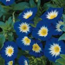 UNA 75 of Morning Glory Seeds Ensign Royal, Heirloom Flower, Climbing Vine, Non-Gmo
