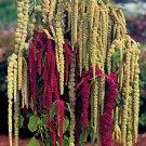 UNA 50 of Love Lies Bleeding Seeds, Farm Mix, Tassle Flower, Amaranthus, Heirloom