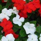 UNA 50 of Impatiens Seeds, Red & White Impatiens Seed, Non-Gmo Heirloom Annual Flower