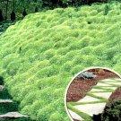 UNA 100 of Irish Moss - Heirloom Seeds, Perennial Groundcover Seeds, Moss Seeds