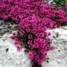 UNA 100 of Red Creeping Thyme Seeds, Groundcover Seeds, Heirloom Non-GMO Seeds