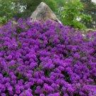 UNA 75 of Moss Verbena Seeds, Violet, Perennial Groundcover Flower Seeds, Heirloom
