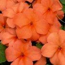 UNA 50 of Orange Impatiens Seeds, Impatiens Seeds, Non-Gmo Heirloom Annual Flower