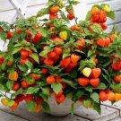 UNA 30 of Chinese Lantern Seeds, Heirloom Seeds, Dried Flowers, Eye Catching Blooms