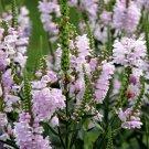 UNA 50 of Obedient Plant Seeds, Pink, False Dragonhead Seeds, Perennial Wildflower